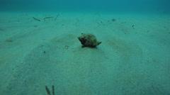 A mollusc moving undersea Stock Footage