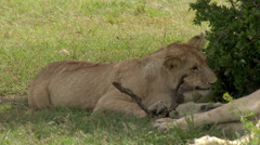 African Lion (Panthera leo) juvenile biting on a stick, Lock shot in high angle Stock Footage