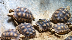 Group of  Sulcata Tortiose Stock Footage