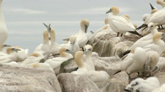 Northern Gannet (Morus bassanus) couple in courtship Stock Footage