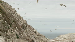 Northern Gannet (Morus bassanus) colony, nesting on cliff, others in flight Stock Footage