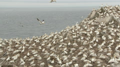 Northern Gannet (Morus bassanus) colony on cliff overlooking the Ocean, Stock Footage