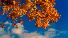 Autumn yellow maple leaves Stock Footage