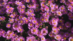 Bees collecting nectar from pink flowers Stock Footage