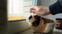 Big guinea pig on the windowsill Stock Footage