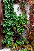 Antique wooden wheel covered with green ivy Kuvituskuvat