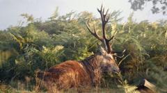 Red Deer Stag Falling Asleep  in Richmond Park. Stock Footage