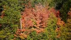 Autumn foliage with red, orange and yellow fall colors in A Northeast forest Stock Footage