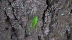 Green Grasshopper Crawling on a Tree Stock Footage