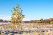 Birch tree on autumn frosty meadow Stock Photos