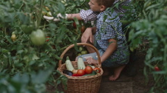 Little Boy and Senior Man Picking Tomatoes Stock Footage