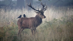 Red Deer Stag Bellowing During Rut in Richmond Park. Stock Footage
