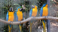 Four Blue and Yellow Macaw Perched on a Tree Branch Stock Footage