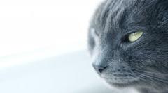 Cat Portrait. Fierce Grumpy purebred Cat. Funny domestic Pets. Close-up of Ca Stock Footage