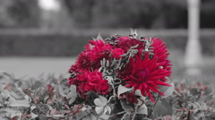 Close up. Bouquet of red flowers is on the bushes. Grey picture. Only red flower Stock Footage