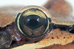 Frog's eye macro close-up brown skin amphibian Stock Photos