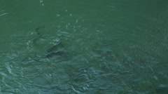 Hungry salmon feeding at fish farm. White alone fish in the flock. Stock Footage