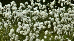 Little white fluffy polar plants swaying in the wind. Stock Footage