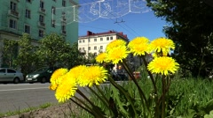 Bright yellow dandelion flowers on a background of passing vehicles. Stock Footage