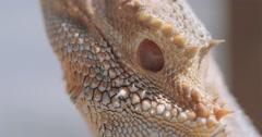 Bearded Dragon face Stock Footage