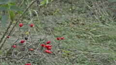 Rosehip Branches Swaying in the Wind Stock Footage