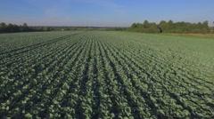 Aero Flight over the cabbage field Stock Footage