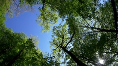 Majestic crown of tall trees, watched with his head back in a beautiful summe Stock Footage