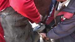 Farrier that cleans a horseshoe before it shoe aided by master horse 05 Stock Footage
