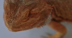 Bearded Dragon looking on Stock Footage