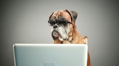 Boxer dog with eyeglasses working on laptop. Stock Footage