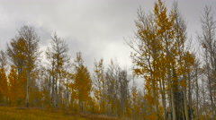 Grey clouds blowing behind bright autumn aspen leaves Stock Footage