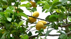 Lemon yellow fruits and flowers in the crown of a tree in the wind 30 Stock Footage