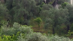Summer rain that wet an old olive plantation on the sea coast Stock Footage