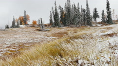 Wind blowing frosted pines grass fall aspen trees overcast day Stock Footage