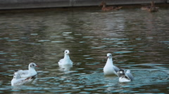 Ducks swimming on a pond Stock Footage