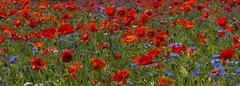 A field of bright, red poppies and wild flowers Stock Photos