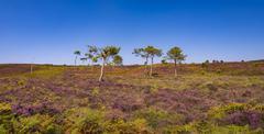 Purple pink heather and pine trees on Dorset heathland Stock Photos