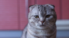 Scottish fold cat look around. Whisks color Stock Footage