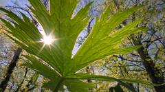 Ray of Sunshine Through the Spring Leaf of a Plant. Stock Footage
