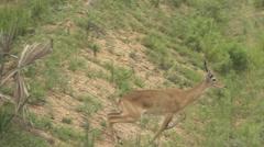 Uganda kobus kob crossing track in super slow motion Stock Footage