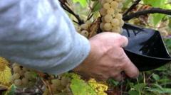 Picking noah grapes Vitis X labruscana Stock Footage