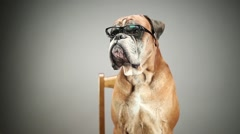 Boxer dog with eyeglasses Stock Footage