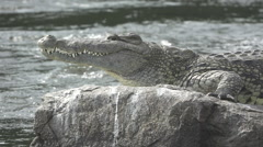Nile crocodile over rock and river Stock Footage