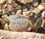 Two large turtles while they mate during the mating season Stock Photos