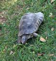 Large turtle walking on the grass of the lawn Stock Photos