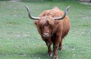 Big yak with long brown hair and two long horns Stock Photos