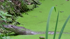 European River Otter (Lutra lutra) swimming in pond and coming on land Stock Footage