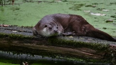 European River Otter (Lutra lutra) resting on log over pond covered Stock Footage