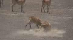 Uganda kobus kob males fighting in super slow motion Stock Footage