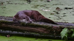 European River Otter (Lutra lutra) resting on log over pond Stock Footage